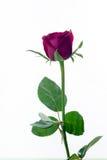 La rose de rouge a isolé le blanc, pendant les jours sombres de l'amour, l'espace de copie Photo stock