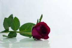 La rose de rouge a isolé le blanc, pendant les jours sombres de l'amour, l'espace de copie Photographie stock