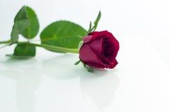 La rose de rouge a isolé le blanc, pendant les jours sombres de l'amour, l'espace de copie Image libre de droits