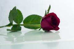 La rose de rouge a isolé le blanc, pendant les jours sombres de l'amour, l'espace de copie Image stock