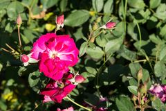 La rose de rouge de plan rapproché fleurit sur l'arbre, concepts doux d'amour, concepts Romance, macro images Photo libre de droits
