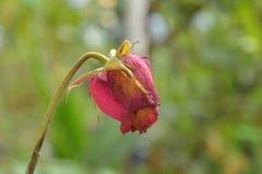 La rose de rouge se défraîchissent sur la branche dans le jardin Photo libre de droits