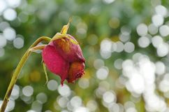 La rose de rouge se défraîchissent sur la branche dans le jardin Photographie stock