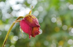 La rose de rouge se défraîchissent sur la branche dans le jardin Photos stock