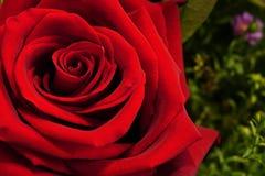 La rose de rouge, se ferment, feuillage et fond floral Photos libres de droits