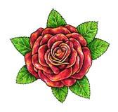 La rose de rouge une fleur est sur un fond blanc Photo stock