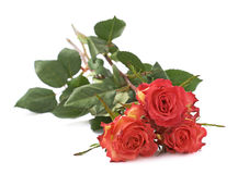 La rose de trois rouges a isolé le mensonge au-dessus de la surface blanche Photographie stock