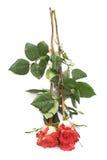 La rose de trois rouges a isolé le mensonge au-dessus de la surface blanche Image libre de droits