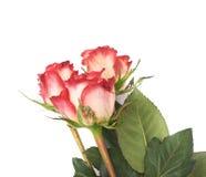 La rose de trois rouges a isolé le mensonge au-dessus de la surface blanche Images libres de droits