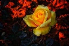 La rose du  de ¤ï¸ de  d'â d'amitié Photo libre de droits