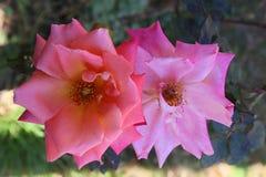 La rose et le lilas de rose se sont levés Photographie stock libre de droits