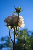 La rose fraîche de blanc sur un fond de ciel sous la pluie se laisse tomber Photographie stock libre de droits