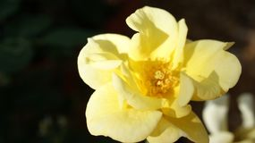 La rose jaune attrape la lumière du soleil de matin photos stock