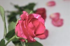 La rose lumineuse de rouge images stock