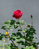 La rose lumineuse de rouge Image stock