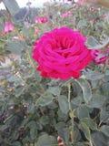 La Rose roja Imágenes de archivo libres de regalías