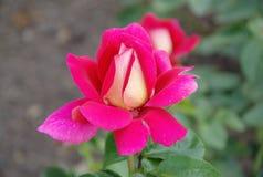 La rose rose et jaune simple avec de l'eau se laisse tomber Photographie stock libre de droits