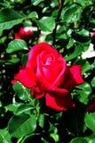La rose rougeâtre de rose fleurit - des fleurs de jardin fleurissant pendant l'été photographie stock