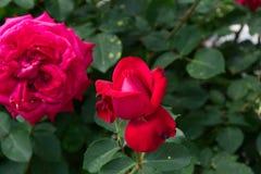 La rose rougeâtre de rose fleurit - des fleurs de jardin fleurissant pendant l'été photos libres de droits
