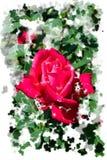 La rose rougeâtre de rose fleurit - les fleurs de jardin fleurissant pendant l'été, aquarelle éclabousse l'encadrement photographie stock
