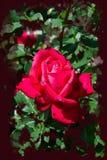La rose rougeâtre de rose fleurit - les fleurs de jardin fleurissant pendant l'été, aquarelle éclabousse l'encadrement photos libres de droits