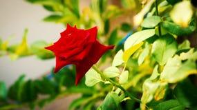 La rose rouge dans le jardin Photographie stock