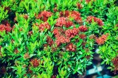 La rose rouge de miniature de cascade a multiplié étroit de mini roses rouges photos stock
