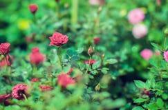 La rose rouge de miniature de cascade a multiplié de mini roses rouges images libres de droits