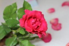 La rose rouge lumineuse sur le pourpre photo stock