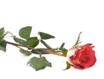 La rose simple de rouge a isolé le mensonge au-dessus de la surface blanche Photos libres de droits