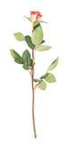 La rose simple de rouge a isolé le mensonge au-dessus de la surface blanche Photographie stock libre de droits