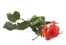 La rose simple de rouge a isolé le mensonge au-dessus de la surface blanche Image libre de droits