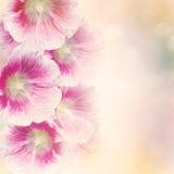 La rose trémière fleurit le fond Image libre de droits