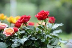 La roseraie Image stock