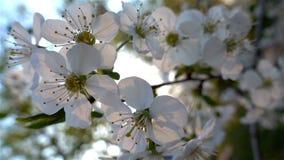La rotura del sol a trav?s de las flores en las ramas de los ?rboles almacen de video