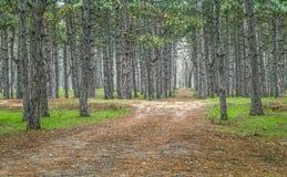 La route dans une forêt de pin Image libre de droits