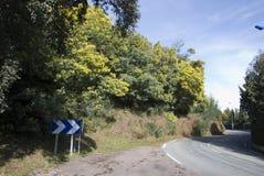 La Route du Mimosa Immagine Stock