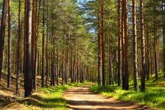 La route forestForest de pin Photos libres de droits