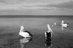 La routine del pellicano fotografie stock libere da diritti