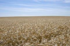 La Russia, Bielorussia: grano e cielo Immagini Stock