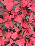 La Russia St Petersburg Fiore o euforbia della stella di Natale bella - una pianta che fiorisce per il Natale 2 immagine stock
