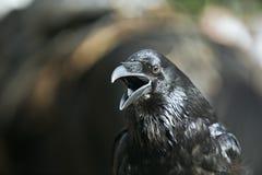 La Russie, Moscou, oiseau Raven Image libre de droits