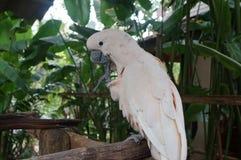 La séance blanche de cacatoès sur une branche et nettoie des plumes Images stock