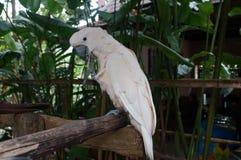 La séance blanche de cacatoès sur une branche et nettoie des plumes Photographie stock libre de droits
