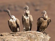 La séance de trois vautours de cap dans une ligne sur une saillie de roche regardant dans le même sens Photographie stock libre de droits