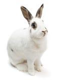 La séance repérée mignonne blanche de lapin sur le blanc a isolé rechercher la nourriture images stock