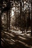 La sépia contrastée a modifié la tonalité le chemin forestier de pin Photos libres de droits