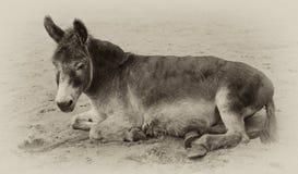 La sépia de cru a modifié la tonalité l'image d'un âne très vieil Photographie stock