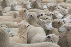 La série de ferme de moutons Images libres de droits