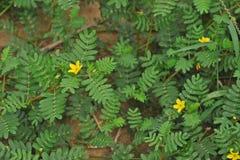 La s-mauvaise herbe de ` de diable, vigne de piqûre, puncturevine, tackweed ; mauvaise herbe envahissante de broadleave Images stock